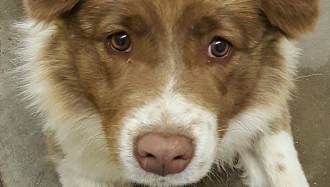 This 10-month-old brown and white female Australian shepherd mix was found in the 1000 block of Lindberg Avenue. She seems to be a very sweet dog.  For more information about adopting a Pet of the Week or other furry friends visit Alamogordo Animal Control, 2910 N. Florida Ave., Monday through Saturday between noon and 5 p.m. or contact them at 439-4330.