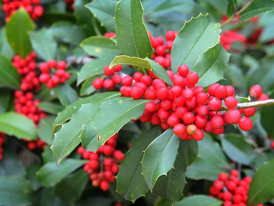 Even as Wichitans prepare for a warmer Thanksgiving holiday than in years' past, the holly tree outside a home at Waverly Place bursts with seasonal color.  Temperatures for Thursday are expected to be highs in the 70s, low in the mid 40s that night.