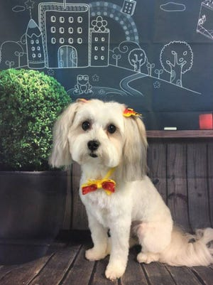 Cali, a dog owned by Christie Purks of Athens, is a volunteer with the Pets Together program.