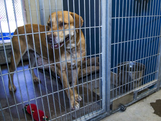 Hundreds of animals await adoption at the Maricopa County Animal Care and Control Phoenix location, Wednesday, June 28, 2017.  The 5th of July is the busiest day for many shelters because of all the dogs who run away after being spooked by fireworks.