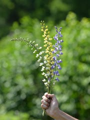 Baptisia blooms in a variety of colors.