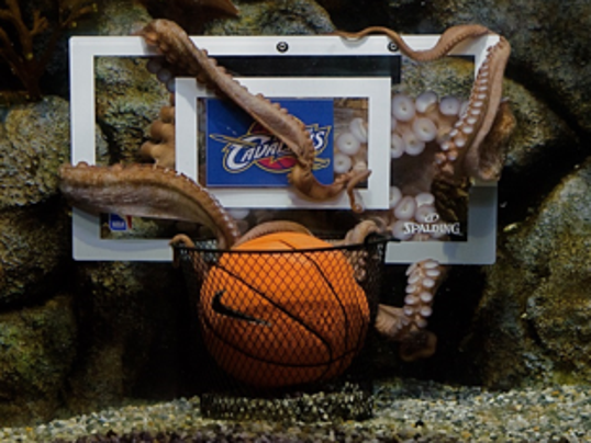 Pacific Octopus 39 K Love 39 Predicts A Cavs Win