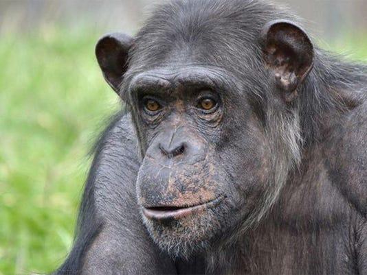 DFP chimp dies (2)