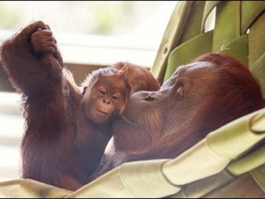 Sirih snuggles with her baby, Mila, at the Indianapolis Zoo. Facebook voters picked the baby orangutan's name.