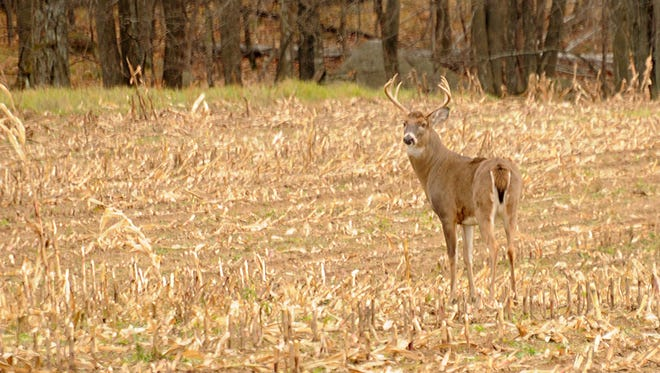 A 10-point buck pauses in a cut cornfield Nov. 3 in northern Shawano County while pursuing a doe in heat.