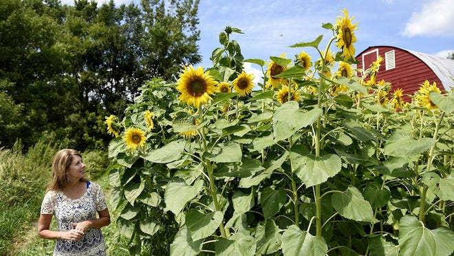 Simonne O'Keefe admires the tall sunflowers growing Wednesday near her home on Grand Lake near Cold Spring. The O'Keefe farm is hosting a fundraiser for the Make-A-Wish Foundation of Minnesota. Bundles of sunflowers will be for sale during the event.