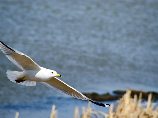 Gull at St. Albans Bay.