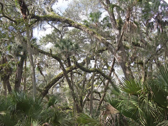 The St. Francis Trail, located in the southeastern corner of the Ocala National Forest passes through six distinct Florida ecosystems including oak hammocks, swamps, river floodplains, hardwood forests, scrub and pine flatwoods.