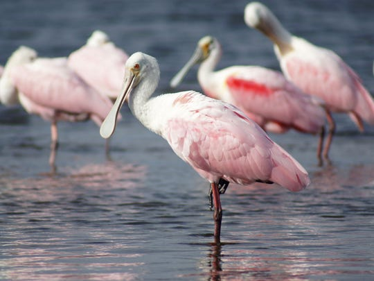 A Roseatte Spoonbill is one of many beautiful birds people will be looking for during the Space Coast Birding and Wildlife Festival.
