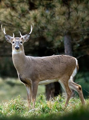 August brings the summer bachelor herds of the big bucks to Delmarva.