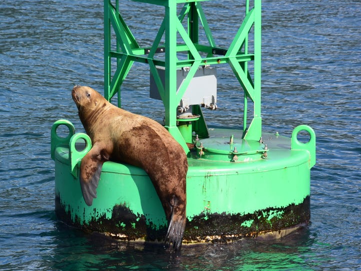 A Stellar sea lion rests on a buoy.