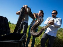 Eco-warriors use brains, brawn to fight python menace