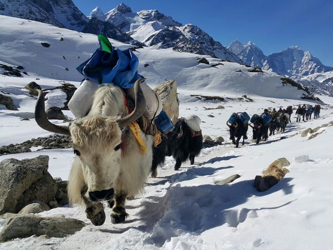 Yaks move towards Mount Everest's base camp ferrying
