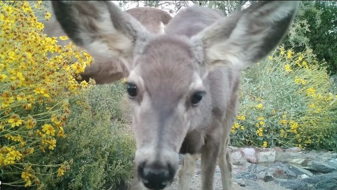 A fawn at the watering hole at Cave Creek Regional Park inspects a hidden camera that captures stunning wildlife footage.