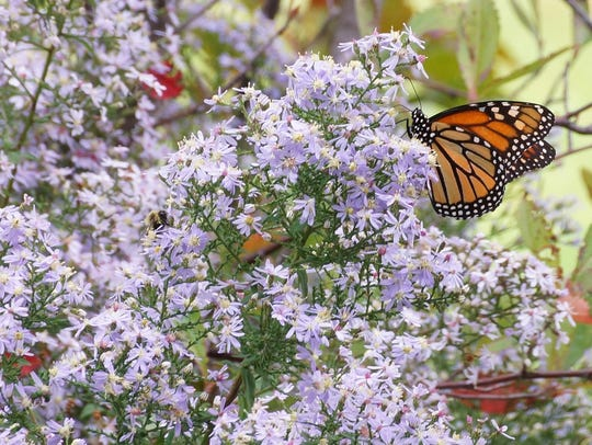 Delaware native heart-leaved aster provides pollen and nectar services for a monarch butterfly and native bees in early fall.