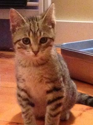 Lancelot is a 3-month-old gentle brown and black tabby boy with green eyes.