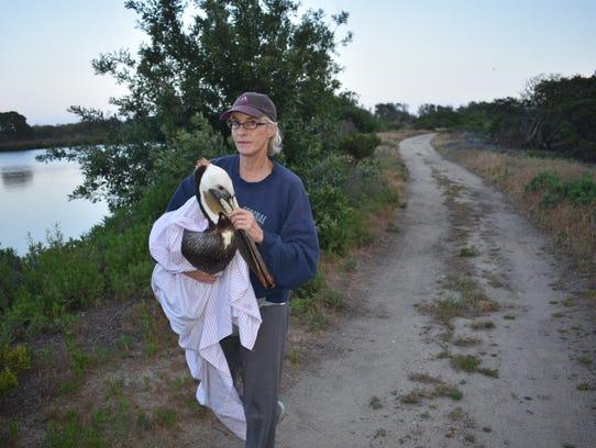 Volunteer Liz Holbrook rescues a pelican at the settling