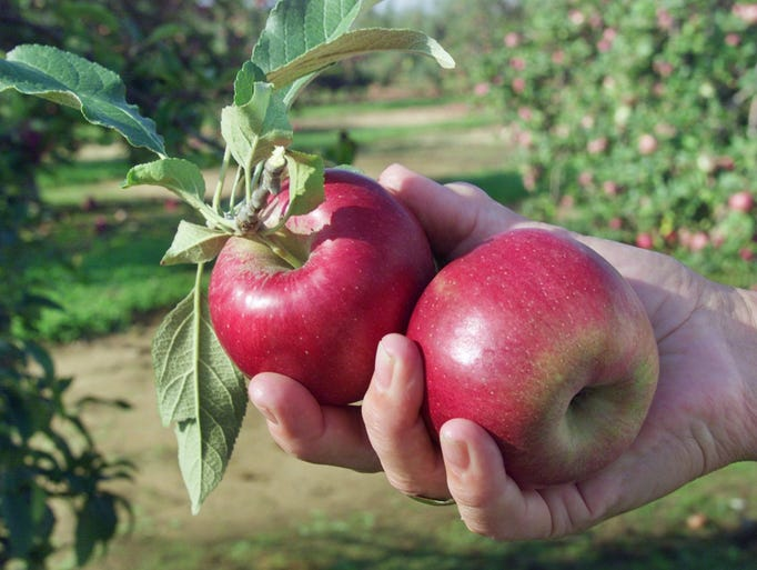 Pick your own apples at Eastmont Orchards.