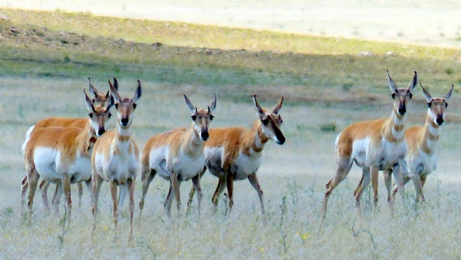 Pronghorn are not antelope although they closely resemble antelope of the Old World.