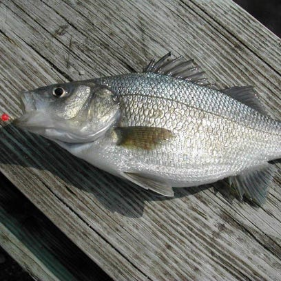 White perch, pictured, are starting to bite in the