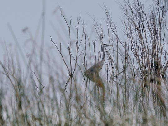 A great blue heron stands in the brush along Lake Kirby Saturday. The bird is the largest, most widespread heron in North America according to Texas Parks & Wildlife.
