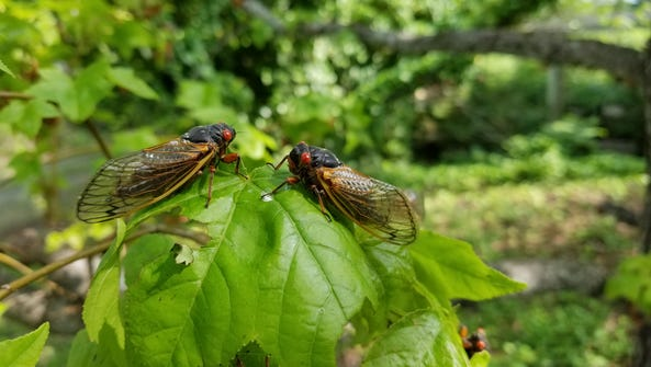 Brood VI 17-year cicadas are emerging in parts of Western