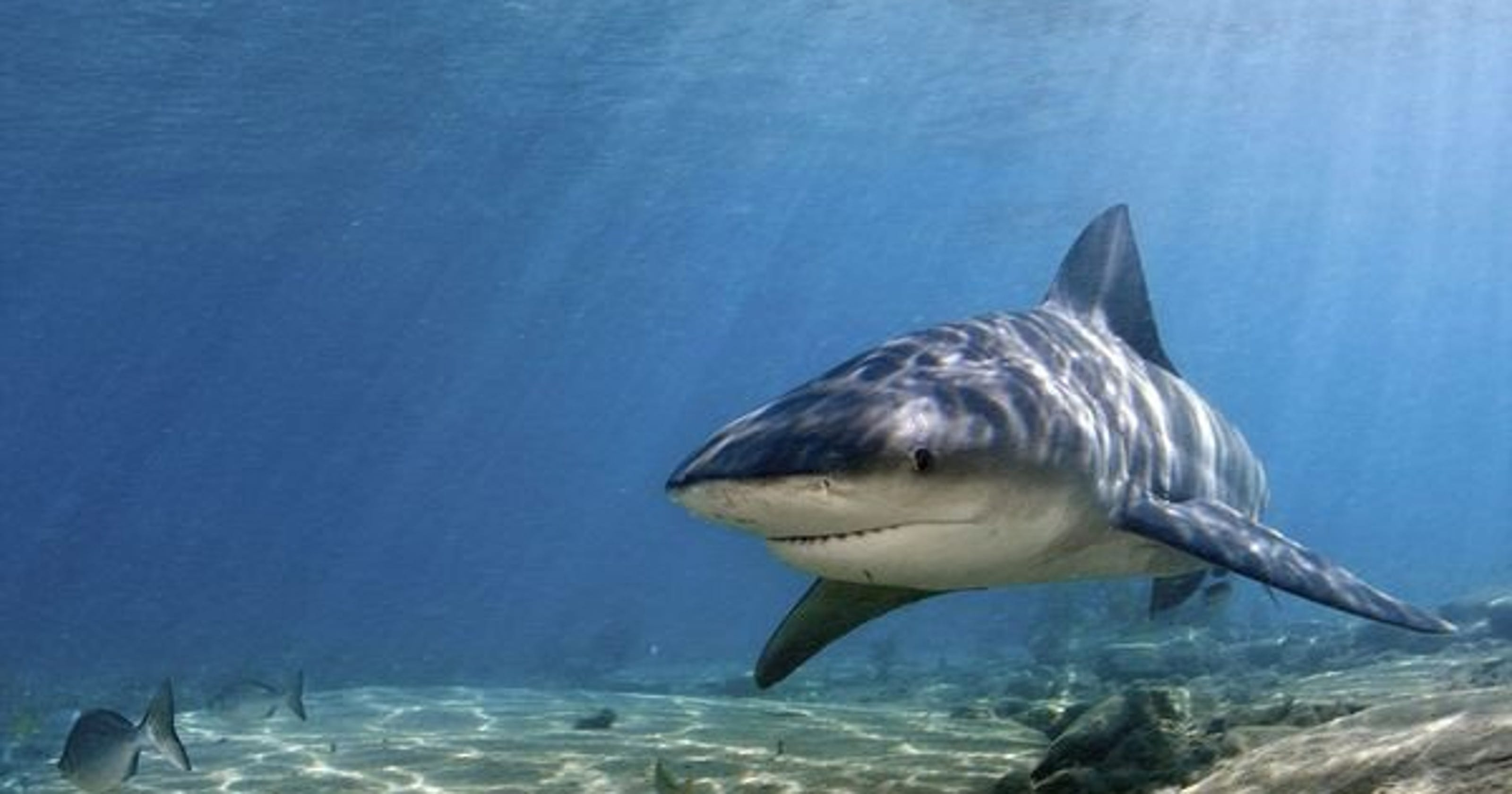 Bull sharks expanding north but still call Indian River