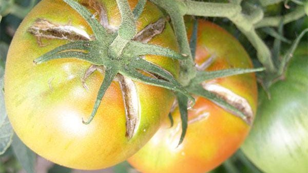 Periods of very fast growth with high temperatures and high soil moisture levels can cause tomatoes to crack.