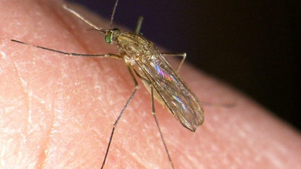 Culex Pipens, the mosquito most responsible for transmitting West Nile Virus in the northeast United States.