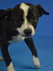 Oreo is one of the Arizona puppies that found a home