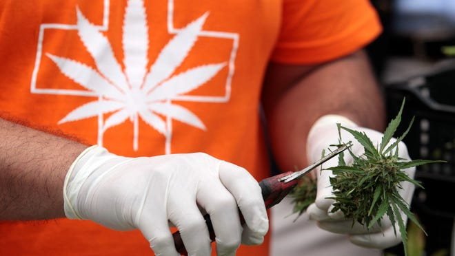 A man harvests a marijuana plant. Michigan law now allows anyone 21 and over to grow up to 12 marijuana plants.