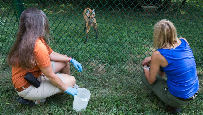 Angela Johnson, left, a keeper at the Louisville Zoo, and president and co-founder of Rudy Green's Doggy Cuisine, Karla Haas, right, feed Sadie who has grown healthier since eating Rudy Green's.  July 26, 2017.