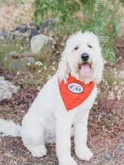 Rocky, a two-year-old rescue Golden doodle who lives