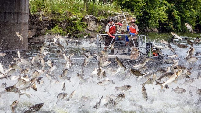 Sadly, scenes like these with Asian carp jumping out of the water are becoming more common in rivers across the Midwest.