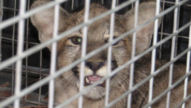 A 4-month-old panther was rescued by FWC after its mother was likely killed by a driver in Collier County. The kitten will live its life at Naples Zoo because she is too young to release back into the wild, FWC said.