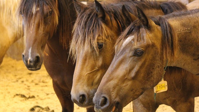 These three mustangs were up for adoption by the Bureau of Land Management.