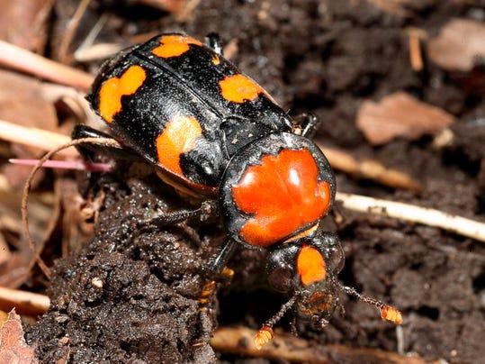 -Beetle Reintroduction_John.jpg_20140614.jpg