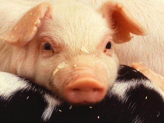 USDA-pigs.jpg