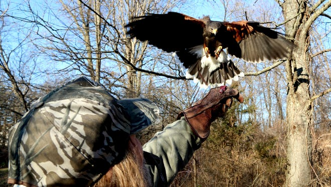 Marie, one of two Harris's hawks that belong to John Shuell of White Lake, swoops down to Shuell's glove with fresh rabbit meat for a snack after a long but unsuccessful hunt for rabbits on public land in Hartland, Mich. on Friday, Dec. 4, 2015. T