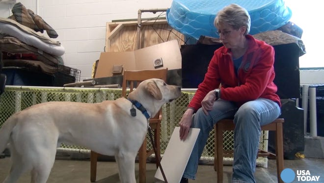 It takes a special puppy to be a service dog. Only one puppy from each litter is qualified to be a service dog for a veteran, and sometimes, none of them have the temperament, according to Suzanne Ager, a puppy raiser.