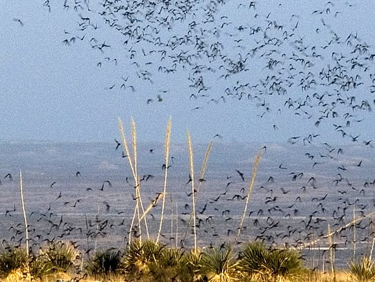 Brazilian free-tailed bats exit Carlsbad Caverns to