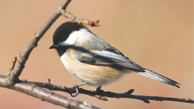 Chickadees have excellent coping tactics for surviving harsh winter weather.