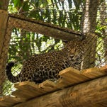 The Brevard Zoo has finished construction on a new jaguar expansoin.