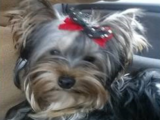 Mickey the stolen Yorkshire terrier