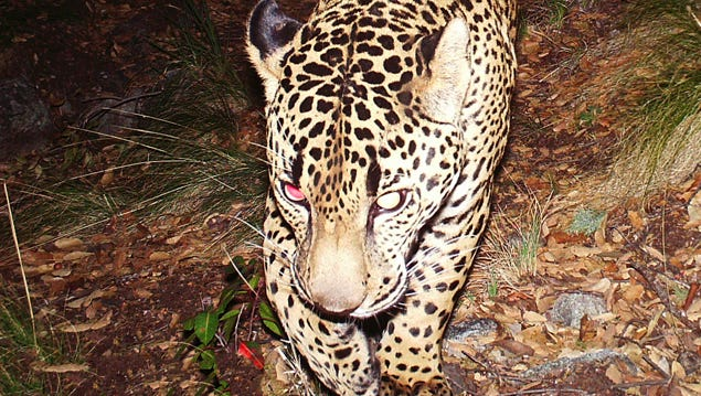 "The footage of ""El Jefe"" taken by camera traps in the Santa Rita Mountains south of Tucson, Arizona, may just be about 40-seconds long, but it provides an amazing glimpse of an exotic cat big cat in the prime of his life. And it represents years of intensive tracking, camera trapping, and strategizing by conservationists."