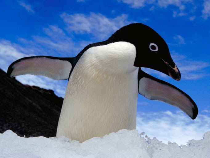 This is an AdŽlie penguin at Brown Bluff, which is