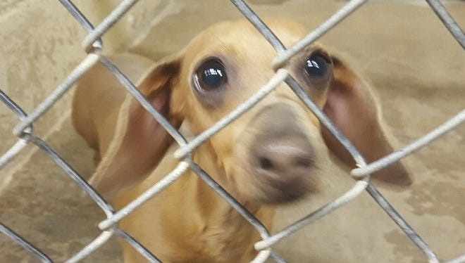 This Dachshund mix is female and six years old. Her owner passed away. Her seems to be good with other dogs, is not housebroken and will need to get to know you. She needs someone with patience and understanding and she need lots of love. For more information about adopting a Pet of the Week or other furry friends visit Alamogordo Animal Control, 2910 N. Florida Avenue, Monday through Saturday between noon and 5 p.m. or contact them at 439-4330.