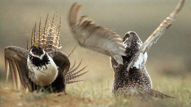 A male sage grouse fights for the attention of a female bird southwest of Rawlins, Wyo., in 2008. Federal wildlife officials say they will still decide by next September whether the grouse should be listed under the Endangered Species Act, though action by Congress late last year would block any actual listing in 2015.