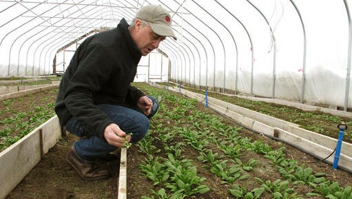 In this Jan. 23, 2017, photo, farmer Joe Buley pulls a weed from a bed of spinach growing in a high tunnel greenhouse at Screamin' Ridge Farm in Montpelier, Vt. Demand driven by the farm-to-table movement knows no seasons, so farmers in colder areas of the country increasingly use such structures to meet wintertime demand for local produce. The federal government helped spur growth in winter farming by providing financial and technical assistance to farmers to install the type of greenhouse to extend the growing season.
