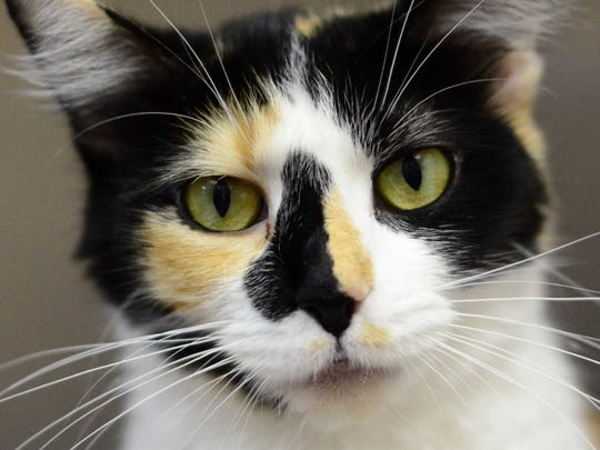 Momma - Female domestic short hair, adult. Intake date:7/29/2017